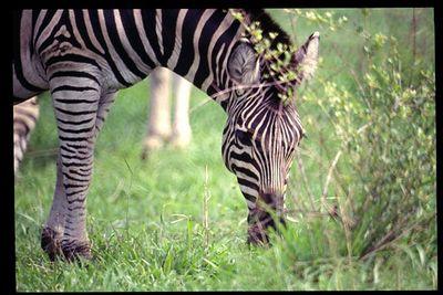 Zebra feeding