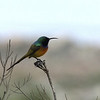 orange-breasted sunbird, Rooi Els, ZA