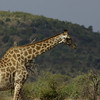 giraffe, Kruger NP, ZA