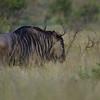 wildebeest, Kruger NP, ZA