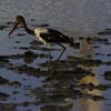 saddle-billed stork, Kruger NP, ZA
