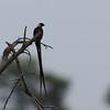 paradise whydah, Marievale, ZA