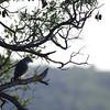 lizard buzzard, Kruger NP, ZA