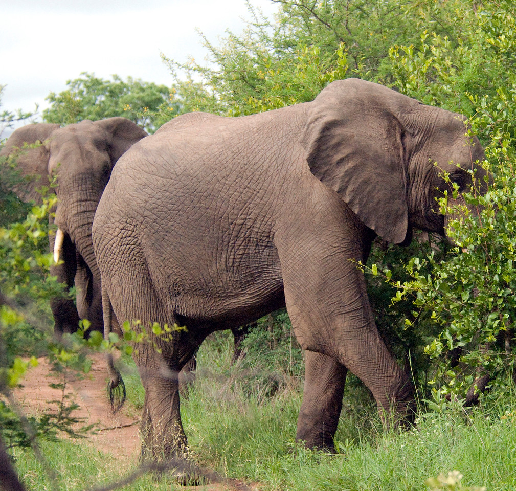 No passing. Elephants, Londolozi