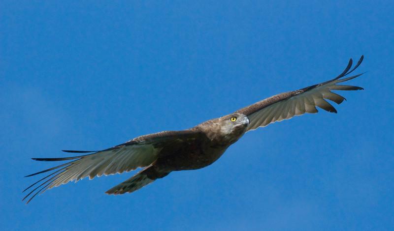 Brown Snake Eagle, Londolozi
