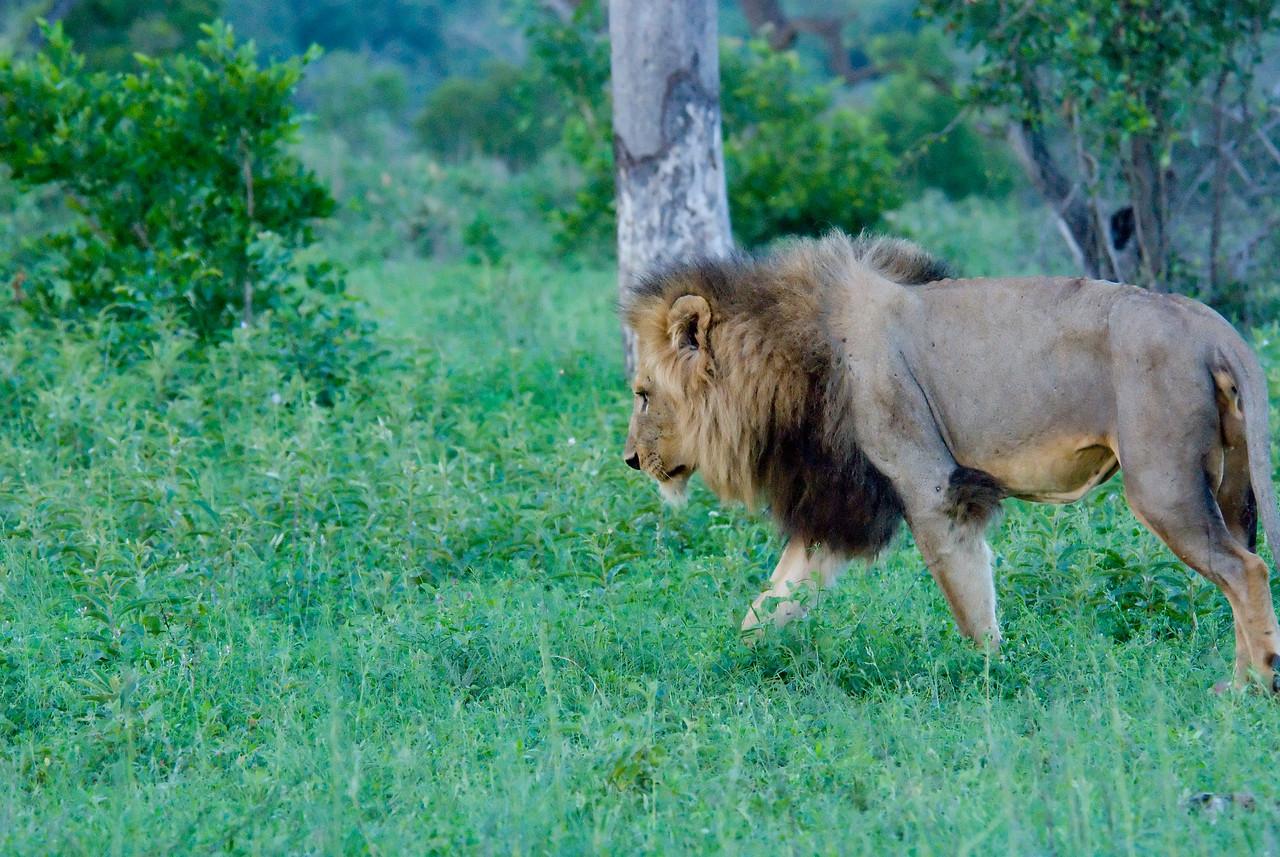 Lion, Londolozi