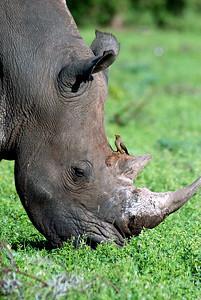 Black Rhino, Londolozi