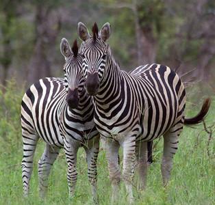 Zebras, Londolozi