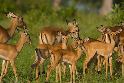 Impala, Londolozi