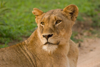 Lioness, early morning, only minutes from our camp, Londolozi