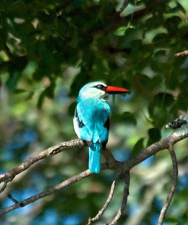 Woodland Kingfisher, Londolozi