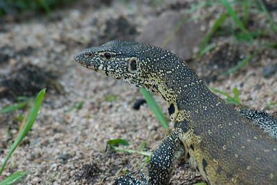 Monitor lizard, Londolozi