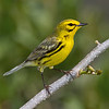 Prairie Warbler (Dendroica pinus).. Took this image near Flamingo, Everglades, Florida.