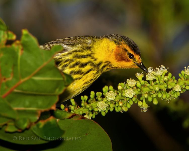 Cape May Warbler (Dendroica tigrina)