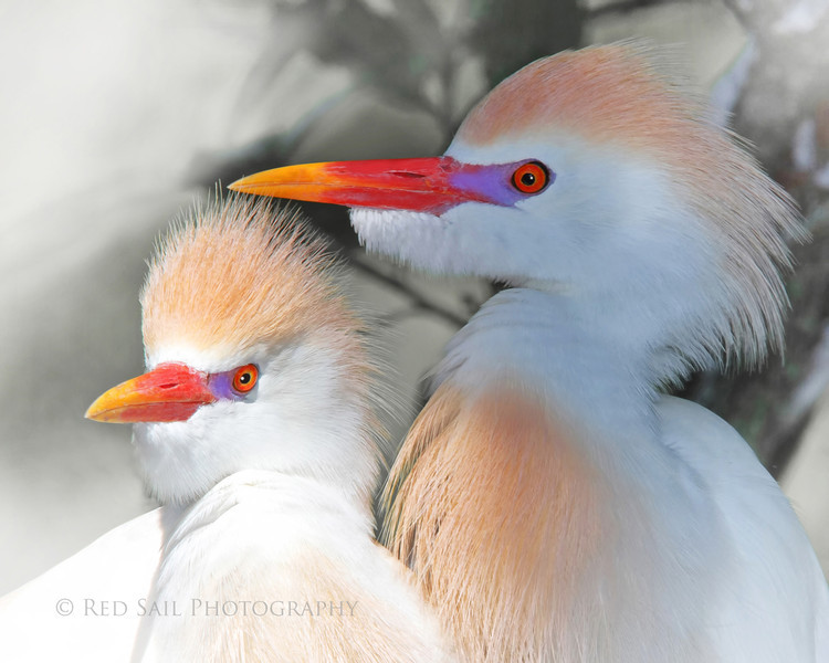 """Cattle Egrets in White"" (Bubulcus ibis)"