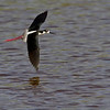 Black-necked Stilt (Himantopus mexicanus).. Got some beautiful red legs.
