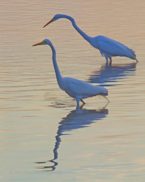 Great Egrets (Ardea alba)
