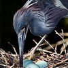 """Little Blue Heron with Eggs""..(Egretta caerulea)"