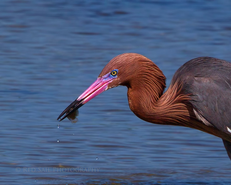 """Reddish Egret with Lunch"" <br /> This was one of the most vibrant I've seen so I had to stop for the shot... Luckly I cought him catching a fish."