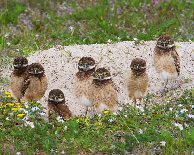 Burrowing Owl family with mom on the right and dad nearby. Smile everyone........ We are smiling!