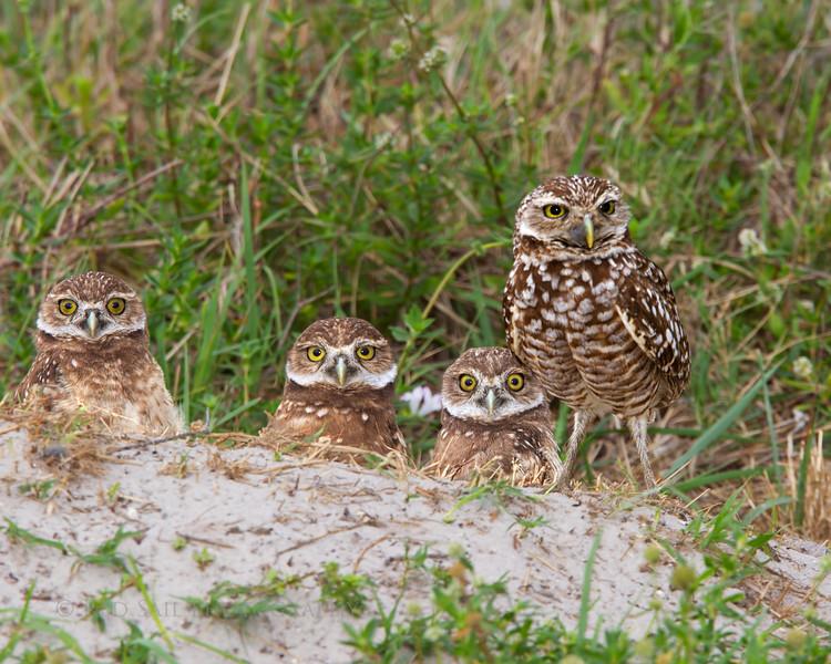 """""""Burrowing Owls Family Portrait"""""""