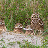 """Burrowing Owls Family Portrait"""