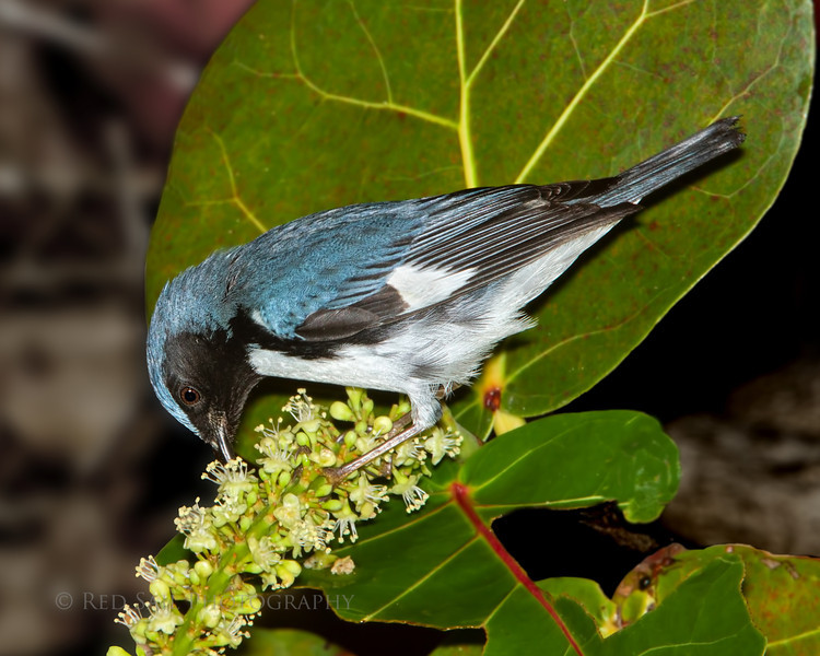 Black-throated Blue Warbler  (Dendroica caerulescens) This bird winters in extreme south Florida and south. It spends its summers in the northeast United States and southeast Canada.