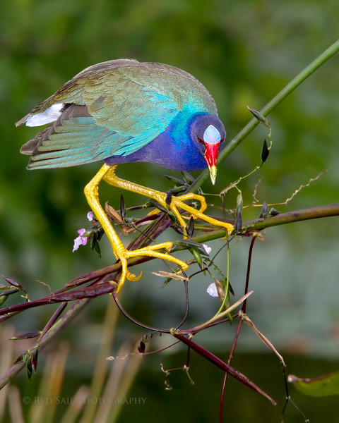 Purple Gallinule (Porphyrio martinica)