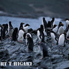 Cooper Bay- named after Captain Cook's First Lieutenant on the HMS Resolution, Robert Cooper. Theses are Macaroni penguins