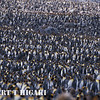 Lots of King Penguins. This place puts Volunteer Point(Falklands) to shame. There are about a half million penguins