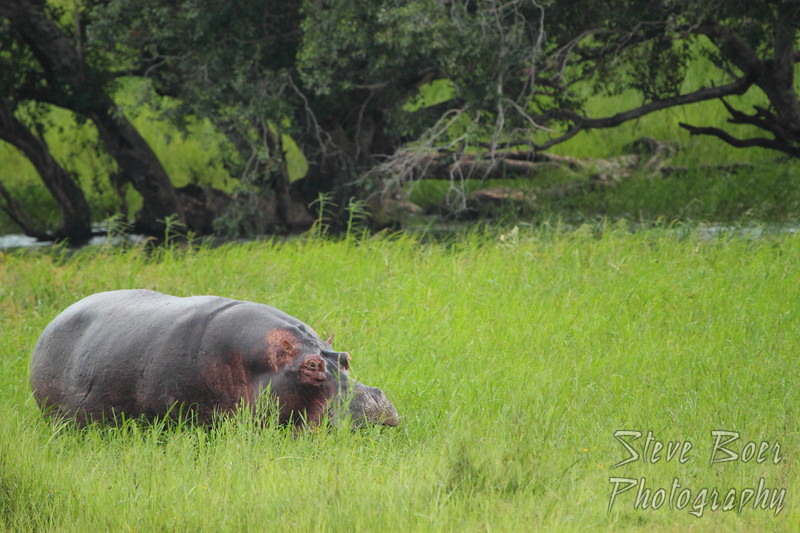 Hippo on land