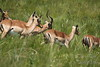 Group of Impala on the move