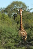 Giraffe full shot