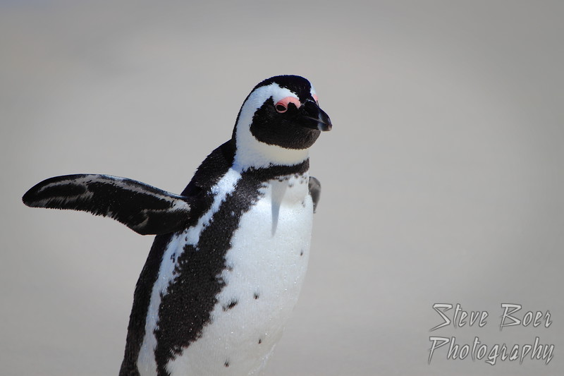 Penguin thinks he can fly