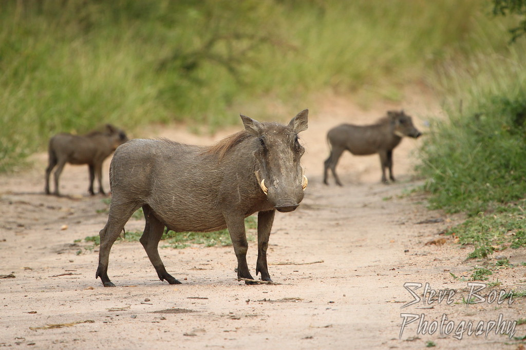 Trio of warthogs