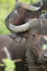 Water Buffalo closeup