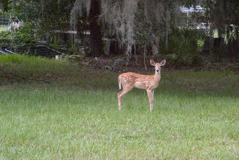 #14 Young Fawn, Myakka State Park, Florida