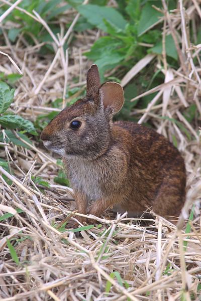 #15 Myakka State Park Wildlife.. Rabbit