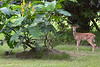 #11 Young Fawn, Myakka State Park Area