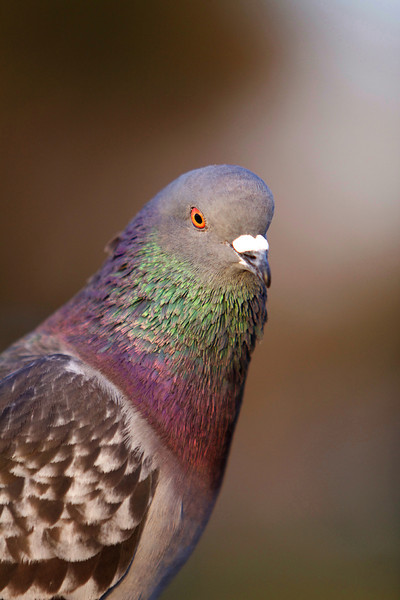 Pigeon 60D & 85mm f/1.8