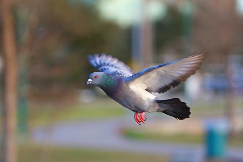 Pigeon 60D & 85mm1.8