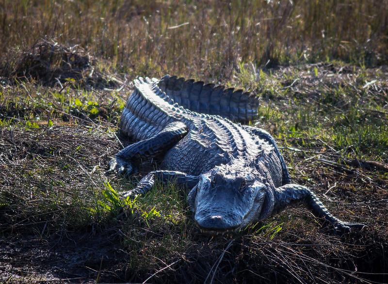 Aligator (1 of 1)