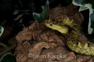 Atheris ceratophora, Horned Bush Viper; Becker Collection  2011-01-22  #1