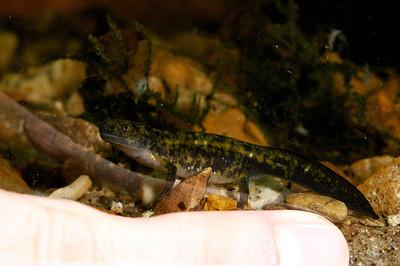 Ambystoma annulatum, Ringed Salamander, larva; Warren County, Daniel Boone Conservation Area, Warrenton, Missouri  2011-01-13  #15