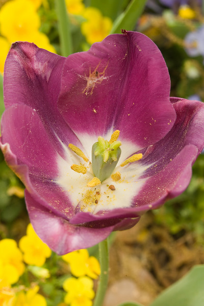 Tulip, pollen and spider