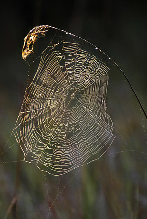 Web shimmers with early dew