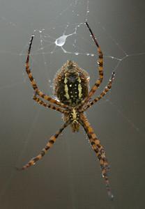 0886 Orb Spider