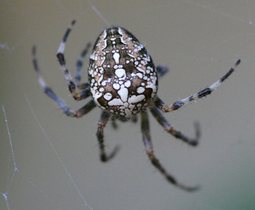 5148 Spider Back