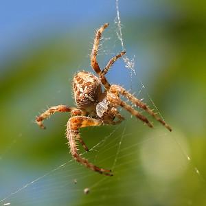 1736 Spider crop