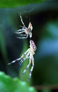 Gabriella, a garden spider, soon after molting.